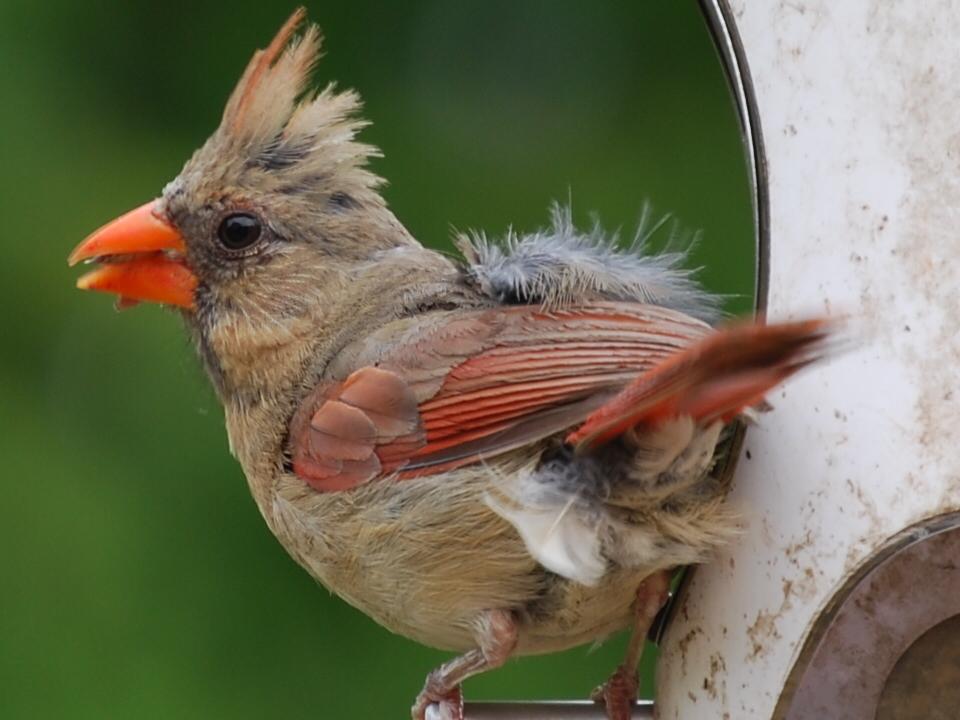 index www.indybirds.com